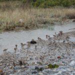 watervogeltjes